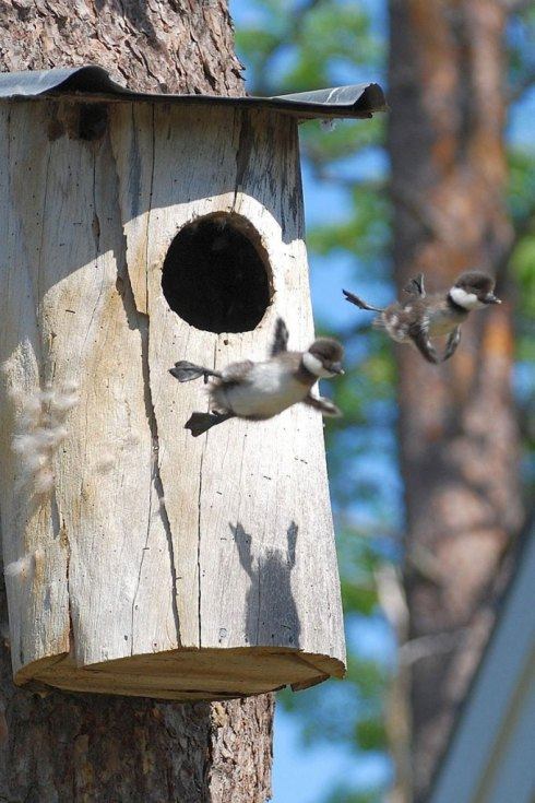 ducks-leaving-nest-flying-for-first-time
